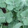 (Whole 1 Oz) ผักคะน้าเคลไซบีเรียน - Siberian Kale