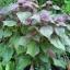 ชิโซะสีม่วง - Purple Shiso thumbnail 1