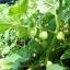 พายแอปเปิ้ล โทมาทิลโล่ - Pineapple Tomatillo thumbnail 5