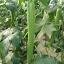 บวบหอมยาวปานกลาง - OpLong Luffa thumbnail 2