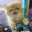 Exotic Longhair ลูกเสี้ยวเปอร์เซีย สีส้มอายุ2.5เดือน (สนใจติดต่อทางLINE) thumbnail 1