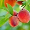 ท้อ พีช (Peach) โลละ 0 บาท
