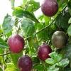 เสาวรส (Passion Fruit) โลละ 35 บาท