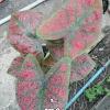 ต้นบอนสี เพชรเม็ดแดง ขนาดกระถาง6นิ้ว
