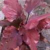 ต้นบอนสี ตะวันฉาน ขนาดกระถาง6นิ้ว