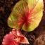 ต้นบอนสี จินดามณี ขนาดกระถาง6นิ้ว thumbnail 1