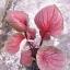 ต้นบอนสี เทพรักษา ขนาดกระถาง6นิ้ว thumbnail 1
