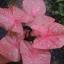 ต้นบอนสี นกเล็ก รัตนจักร ขนาดกระถาง6นิ้ว thumbnail 1