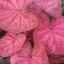 ต้นบอนสี จ.นราธิวาส ขนาดกระถาง6นิ้ว thumbnail 1