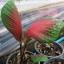 เมล็ดบอนสี แม่น้ำตาปี+ลูกไม้กาบเม็ด 100 เมล็ด / Caladium seeds.100 seeds. thumbnail 3