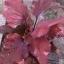 ต้นบอนสี ตะวันฉาน ขนาดกระถาง6นิ้ว thumbnail 1