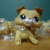 สุนัข Collie สีน้ำตาลทูโทน #2452