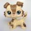 สุนัขคอลลี สีมอคค่า #2210 (หายากมาก) thumbnail 1