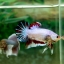 "(Sold Out)""คัดเกรด""ปลากัดครีบสั้น-Halfmoon Plakats Fancy Colors Full thumbnail 3"