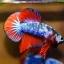 ปลากัดคัดเกรดครีบสั้น - Halfmoon Plakad Fancy Dragon Premium Quality Grade AAA+ thumbnail 4