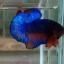 ปลากัดคัดเกรดครีบสั้น - Halfmoon Plakad Fancy Dragon(Red Blue) Quality Grade thumbnail 2