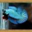 (ขายแล้วครับ)ปลากัดครีบสั้น - Halfmoon Plakats SUPPERBLUE thumbnail 5