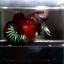 พิเศษพ่อพันธุ์ คัดเกรดปลากัดครีบสั้น-Halfmoon Plakat Fancy Koi thumbnail 1