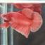 (ขายแล้วครับ)ปลากัดครีบสั้น - Halfmoon Plakats Orenge thumbnail 6