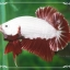 """(ขายแล้วครับ)""""คัดเกรด""""ปลากัดครีบสั้นเทพมากๆสวยแบบเนียนลงตัว-Halfmoon Plakats Red Dragon2 thumbnail 2"""