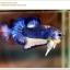คัดเกรดปลากัดครีบสั้น-Halfmoon Plakat Blue Mustrad thumbnail 6