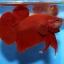 คัดเกรดปลากัดครีบสั้น-Halfmoon Plakad Premium Quality Grade Super Red thumbnail 7
