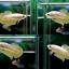 ตอนรับเทศกาล สงกรานต์ ปลากัดครีบสั้น-Halfmoon Plakats Super Gold thumbnail 1