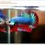 คัดเกรดปลากัดครีบสั้น-Halfmoon Plakat Grizzled thumbnail 1