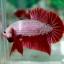 (ขายแล้วครับ)ปลากัดครีบสั้น - Halfmoon Plakats RED DRAGON3 thumbnail 5