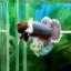 """(ขายแล้วครับ)""""คัดเกรด""""ปลากัดครีบสั้น-Halfmoon Plakats Big Ear Lavender thumbnail 7"""
