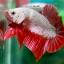 (ขายแล้วครับ)ปลากัดครีบสั้น - Halfmoon Plakats RED DRAGON3 thumbnail 3