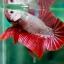 (ขายแล้วครับ)ปลากัดครีบสั้น - Halfmoon Plakats RED DRAGON3 thumbnail 1