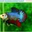 """(ขายแล้วครับ)""""คัดเกรด""""ปลากัดครีบสั้น-Halfmoon Plakats Fancy Dragon Quality Grade thumbnail 6"""