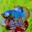 คัดเกรดปลากัดครีบสั้น-Halfmoon Plakat Fancy Dragon Quality Grade thumbnail 1