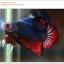 คัดเกรดปลากัดครีบสั้น-Halfmoon Plakat Fancy Red Blue Dragon thumbnail 2