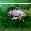 "(Sold Out)""คัดเกรด""ปลากัดครีบสั้น-Halfmoon Plakats Fancy Colors Full thumbnail 7"