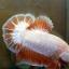 ปลาใหญ่ขนาดเกือบ 1.8-1.9 นิ้ว ปลากัดคัดเกรดครีบ - Halfmoon Plakad Fancy Dragon Premium Quality Grade thumbnail 5