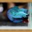 (ขายแล้วครับ)ปลากัดครีบสั้น - Halfmoon Plakats SUPPERBLUE thumbnail 6