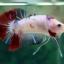 """(ขายแล้วครับ)NICE LOVEBETTAFISH KOI """"คัดเกรด""""ปลากัดครีบสั้น-Halfmoon Plakats thumbnail 4"""