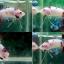 """(ขายแล้วครับ)NICE LOVEBETTAFISH KOI """"คัดเกรด""""ปลากัดครีบสั้น-Halfmoon Plakats thumbnail 1"""