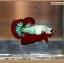 ปลากัดครีบสั้นหางพระจันทร์ครึ่งดวง - Halfmoon Plakat Fancy Dragon thumbnail 4