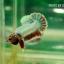 (ขายแล้วครับ)ปลากัดครีปสั้น - Fancy Halfmoon Plakats thumbnail 3