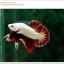 คัดเกรดปลากัดครีบสั้น-Halfmoon Plakat Red Dragon Qaulity Grade thumbnail 8