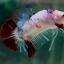 """(ขายแล้วครับ)NICE LOVEBETTAFISH KOI """"คัดเกรด""""ปลากัดครีบสั้น-Halfmoon Plakats thumbnail 7"""