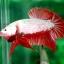 (ขายแล้วครับ)ปลากัดครีบสั้น - Halfmoon Plakats RED DRAGON3 thumbnail 4