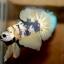 ปลากัดคัดเกรดครีบสั้น - Halfmoon Plakad Fancy Yellow Dragon Premium Quality Grade thumbnail 4