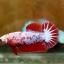 ปลากัดคัดเกรดครีบสั้นตัวเมีย - Halfmoon Plakad Fancy Dragon Premium Quality Grade thumbnail 3