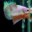"""(ขายแล้วครับ)""""คัดเกรด""""ปลากัดครีบสั้น-Halfmoon Plakats Super Fancy Dragon Sweet Colors thumbnail 9"""