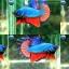 """(ขายแล้วครับ)""""คัดเกรด""""ปลากัดครีบสั้น-Halfmoon Plakats Fancy Dragon Good Form thumbnail 1"""