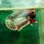 (ขายแล้วครับ)ปลากัดครีปสั้น - Fancy Halfmoon Plakats thumbnail 5
